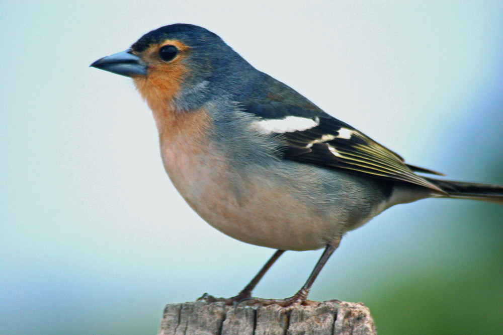Neonicotinoïden en hun desastreuse invloed op vogels